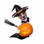 halloween witch dog holding a pumpkin behind a blank banner poster