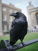 Raven in the Tower of London UK poster