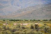 Group of gemsboks or gemsbucks (Oryx gazella) is a large antelope at south Africa bush poster