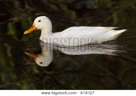 Swimming white duck,  poster