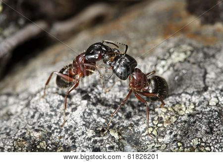 Carpenter ant (Camponotus herculeanus) communicating