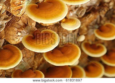 Lingzhi Mushrooms