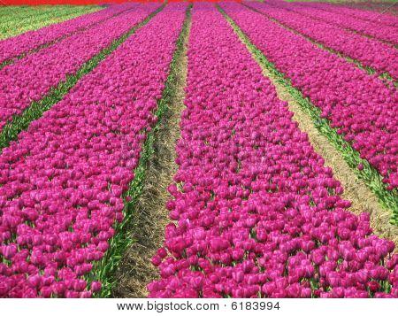 Tulpen Feld für immer