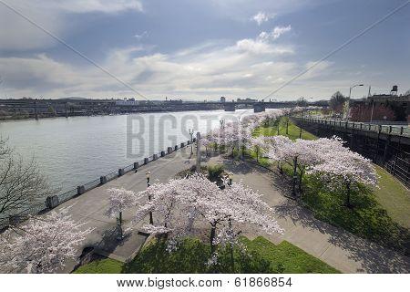 Cherry Blossoms Along Portland Willamette River