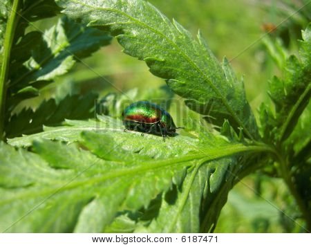 green beetle on the green leaf in bright sunny day poster
