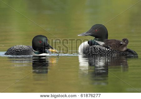 Common Loons - Family Breakfast Time