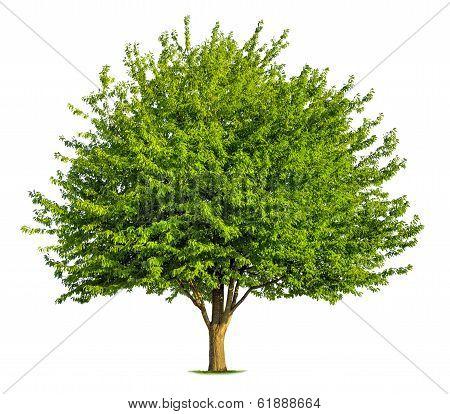 Nice Deciduous Tree On White