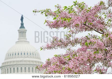 Washington DC - The Capitol building dome and cherry blossoms in spring