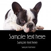 French bulldog over white with copyspace poster