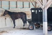 A Mennonite carriage with horse attached parked in an old barn. poster