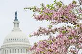 Washington DC - The Capitol building dome and cherry blossoms in spring  poster