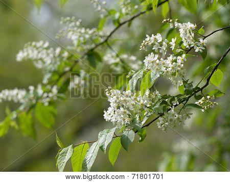 flower of bird-cherry after rain