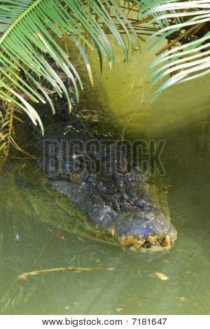 Salt Water Crocodile At Surface