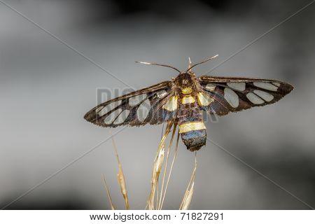 Top View Of Tiger Grass Borer Moth