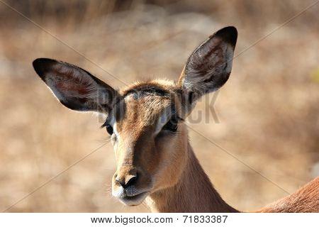 Close-up of impala