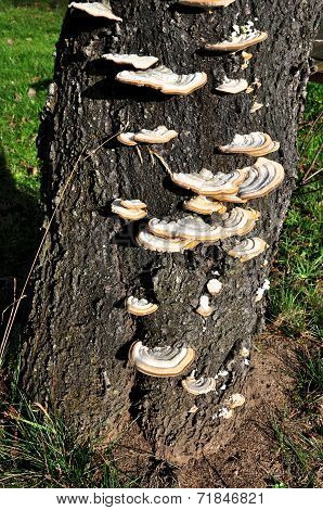 Polypore Growing On A Tree