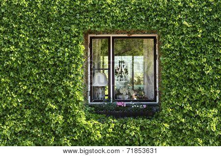 ivy green  window
