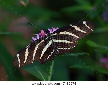 A Zebra Longwing