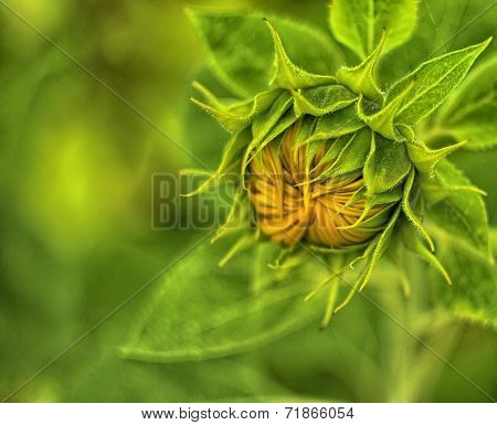 Sunflower surrounded by green leaves