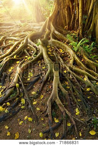 Roots of banyan tree