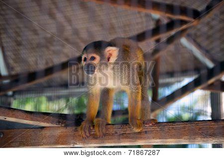 Orange Spider Monkey