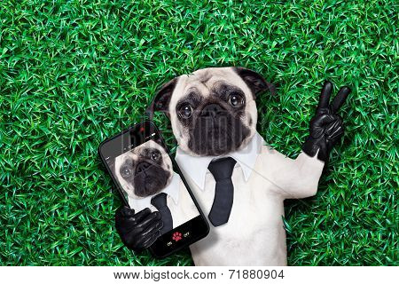 pug dog taking a selfie on grass or meadow in the park with peace or victory fingers poster