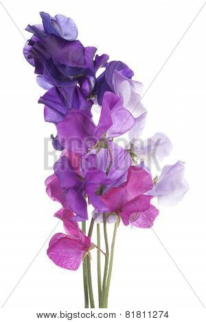 Studio Shot of Multicolored Sweet Pea Flowers Isolated on White Background. poster