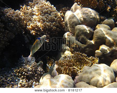 Picassofish v Rudém moři