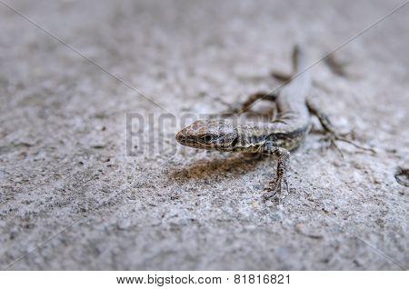 Lizard, Close Shot