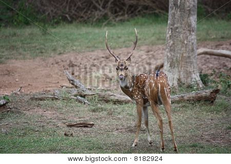 Chital- on the alert!!