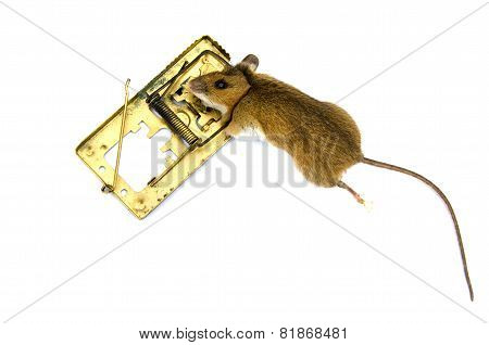 Dead  Pest Mouse Apodemus Flavicolis Yellow Necked Mouse  In  Mousetrap