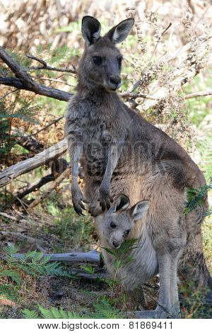 Young Kangaroo In Mothers Pouch