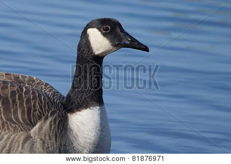 Canadian Goose Swimming