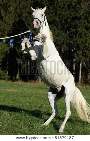 Beautiful White Arabian Stallion Prancing
