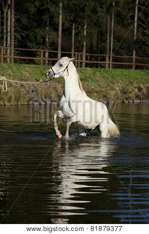 Amazing Arabian Horse In Water