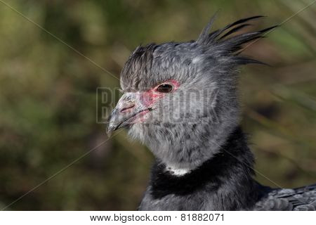 Crested Screamer
