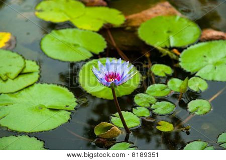 Purple Lilly Flower