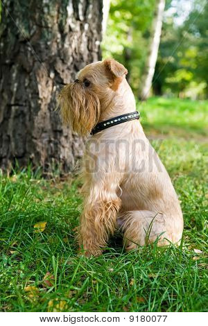 poster of Small dog of breed the Griffon Bruxellois on walk in the summer