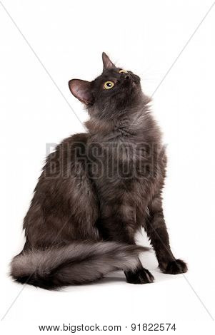 Beautiful black cat with yellow eyes on studio white background