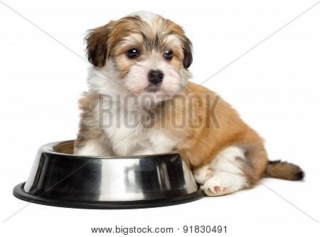 Cute hungry Bichon Havanese puppy dog is sitting next to a metal food bowl and waiting for feeding - isolated on white background poster