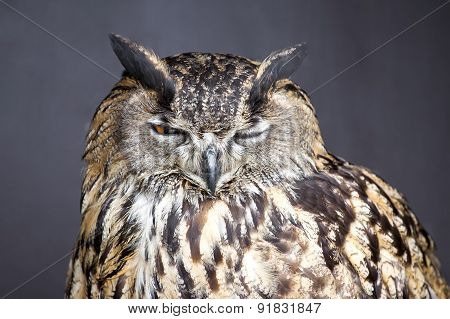 Closeup picture of winking eagle owl