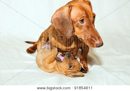Dog mother plays with her puppy.The breed of the dog smooth coated standard dachshund.