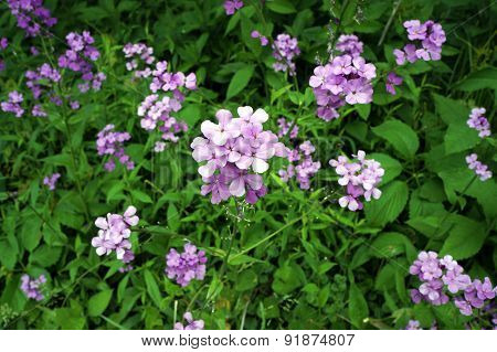 Lunaria annua in bloom