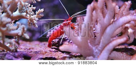 A Colorful Shrimp