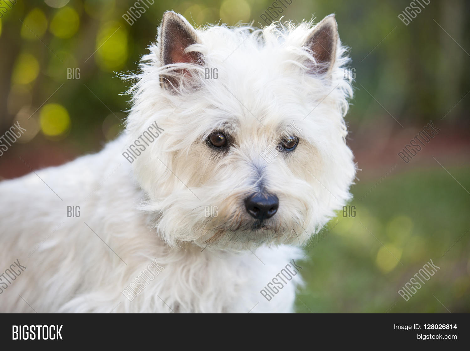White Cairn Terrier Image & Photo (Free Trial) | Bigstock