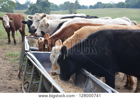 Stocker calves lined up eating at a feed trough