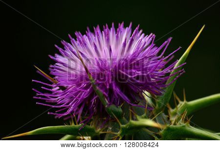 Milk thistle flower in foreground, silybum marianum