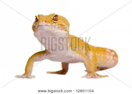 Sunglow Leopard gecko, Eublepharis macularius, in front of white background