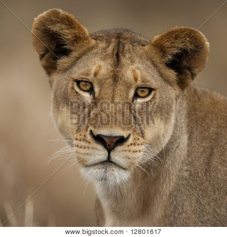 Close-up portrait of Serengeti National Park, Serengeti, Tanzania, Africa