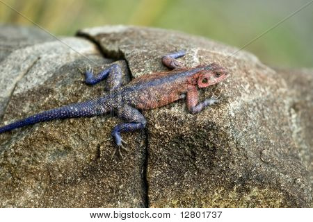 Red-headed Rock Agama, Tanzania, Africa poster